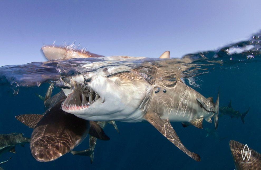 Акулы в Южной Африке