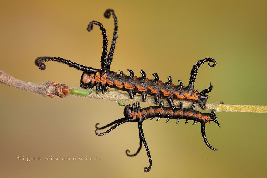 Бабочка Брахман