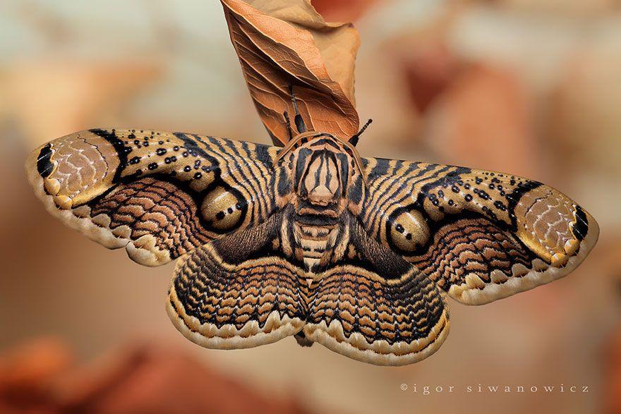 Бабочка Брахман1