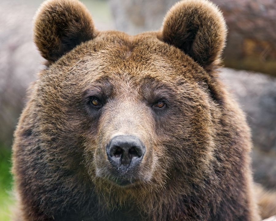породы медведей с фотографиями