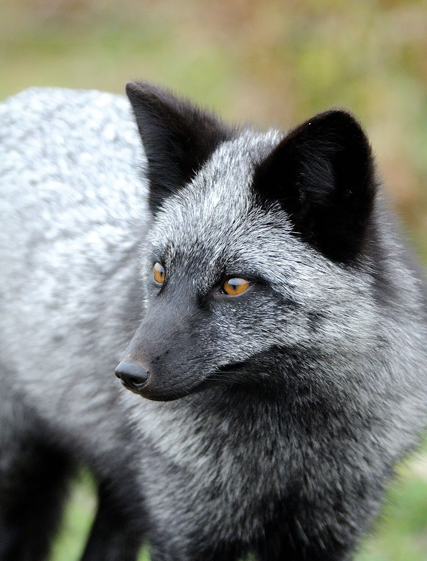 Черно-бурая лисица1