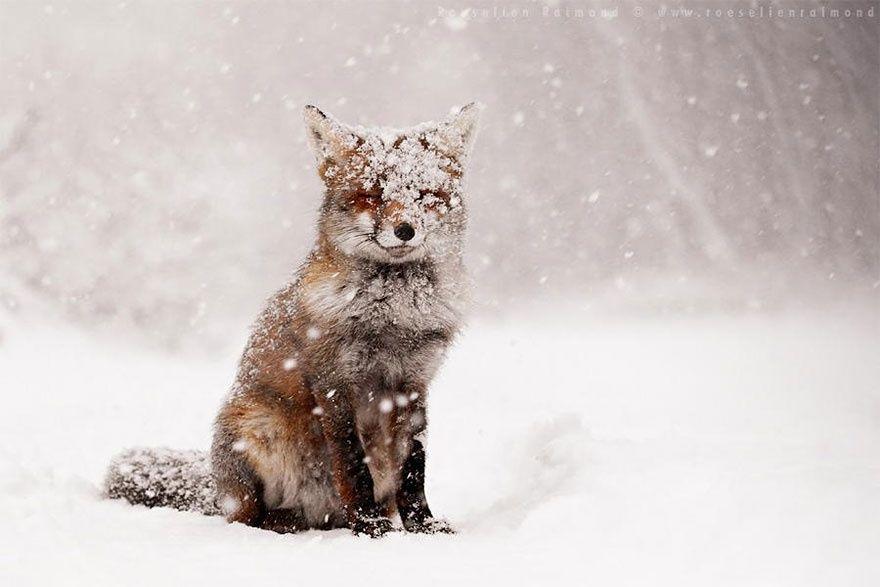 Рыжая лисица1