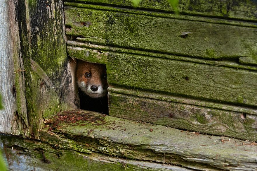 Рыжая лисица2