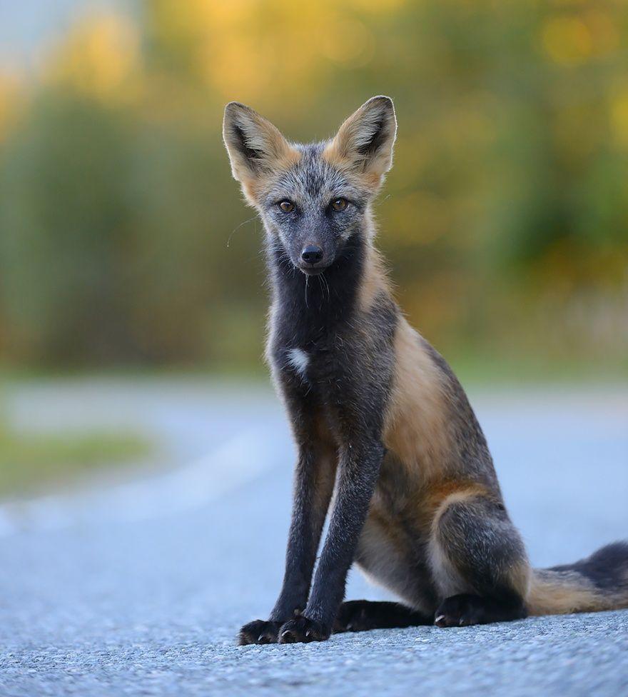 Серебристо-черная лисица