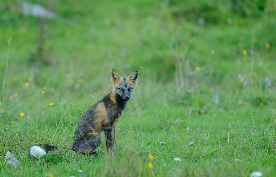 Серебристо-черная лисица1