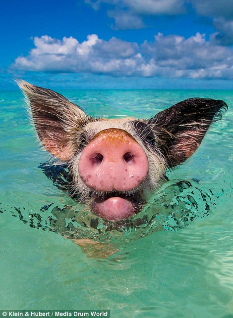 Свиньи на багамах1