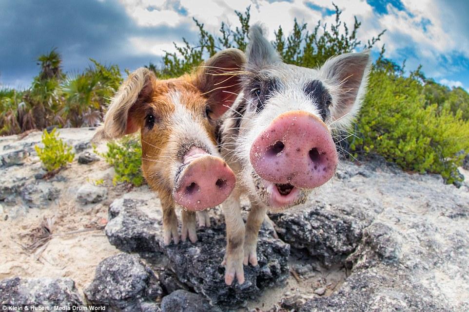 Свиньи на багамах10