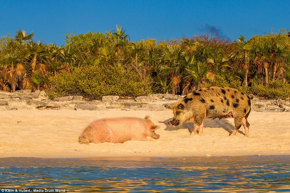 Свиньи на багамах11