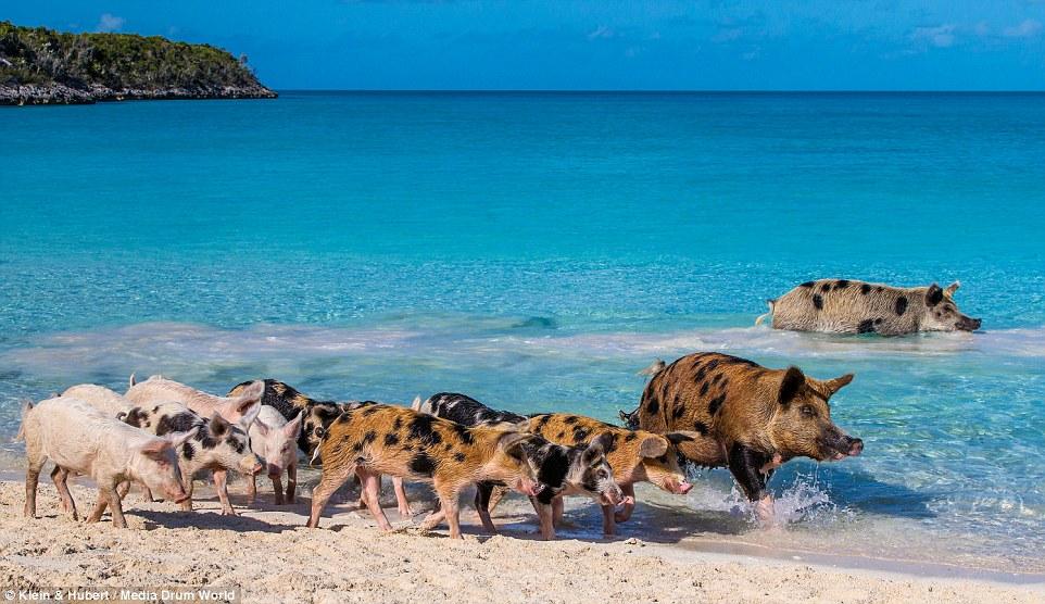Свиньи на багамах4