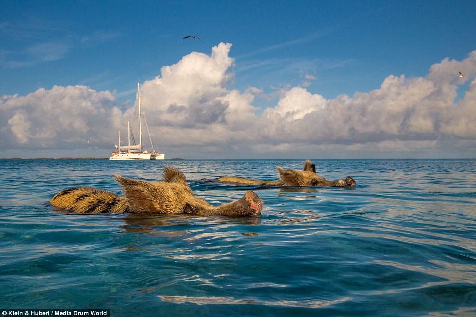 Свиньи на багамах5