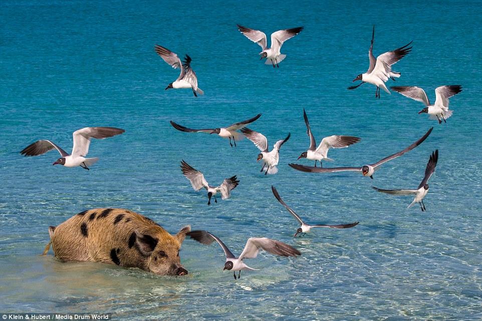 Свиньи на багамах6