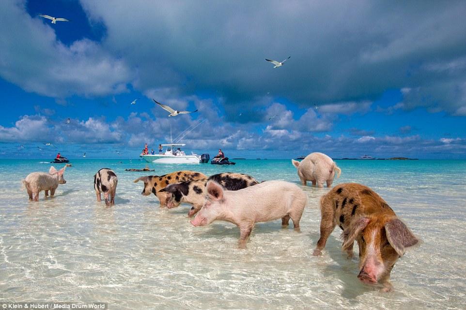 Свиньи на багамах7