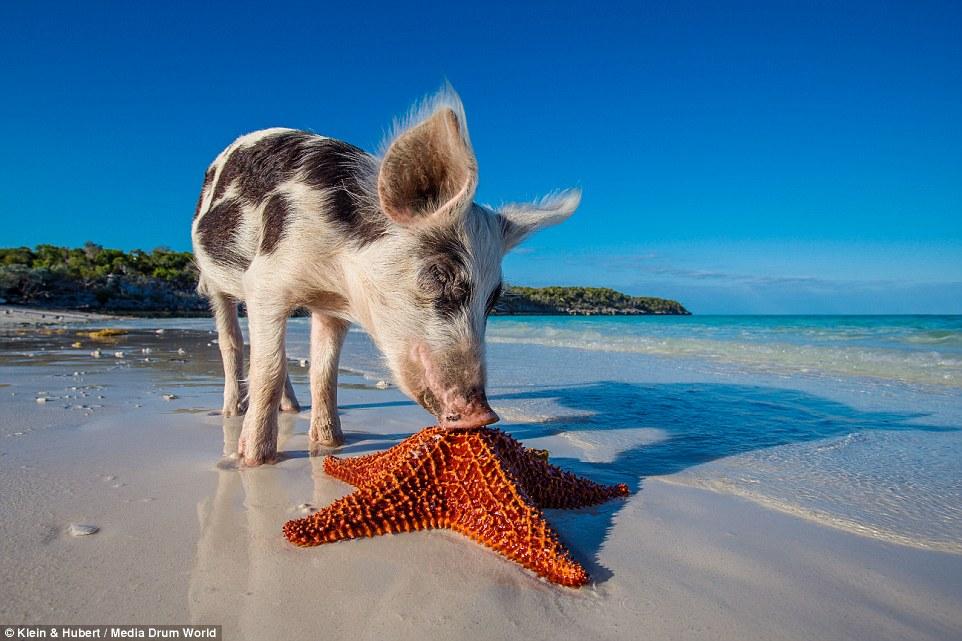 Свиньи на багамах8