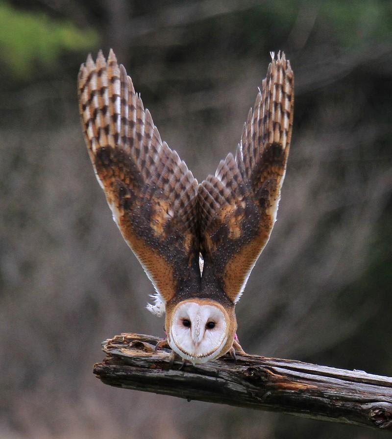 owls97