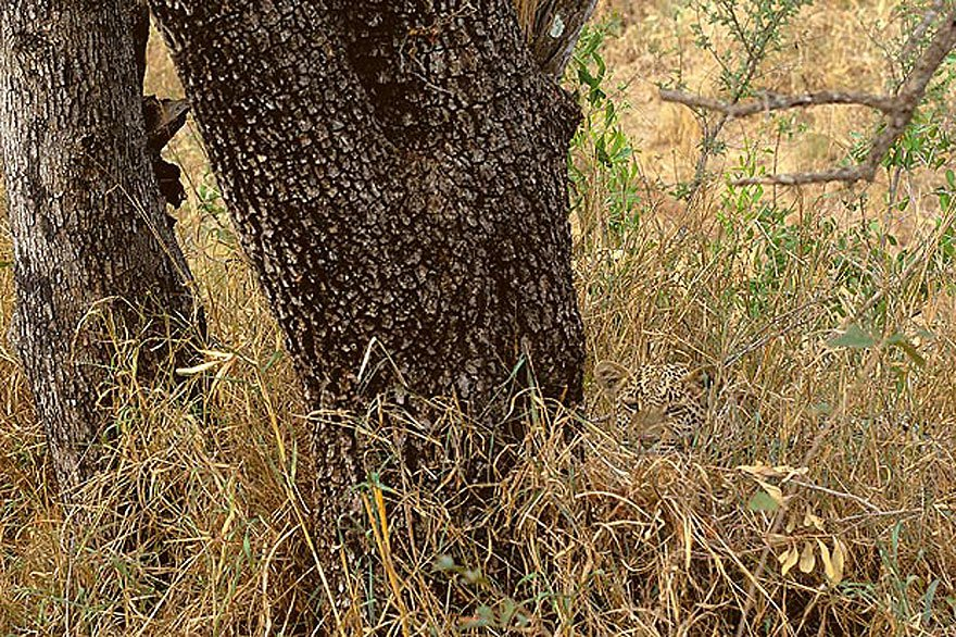 Новогодних венков, картинка с леопардом который спрятался