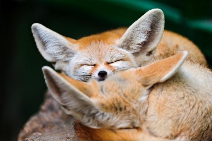 fennecs_fox___tambako
