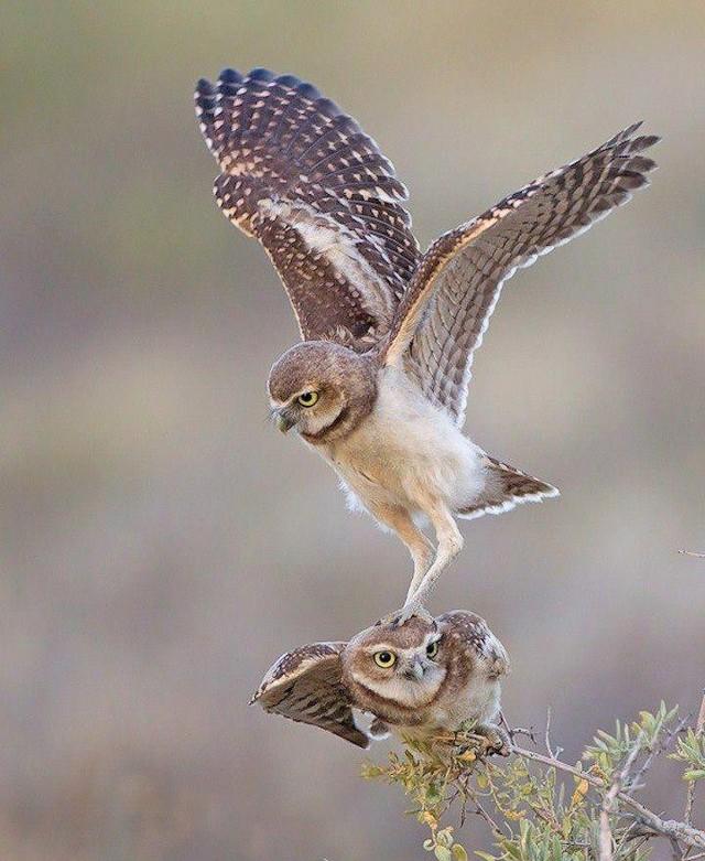 owls27