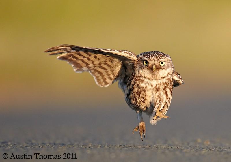 owls28