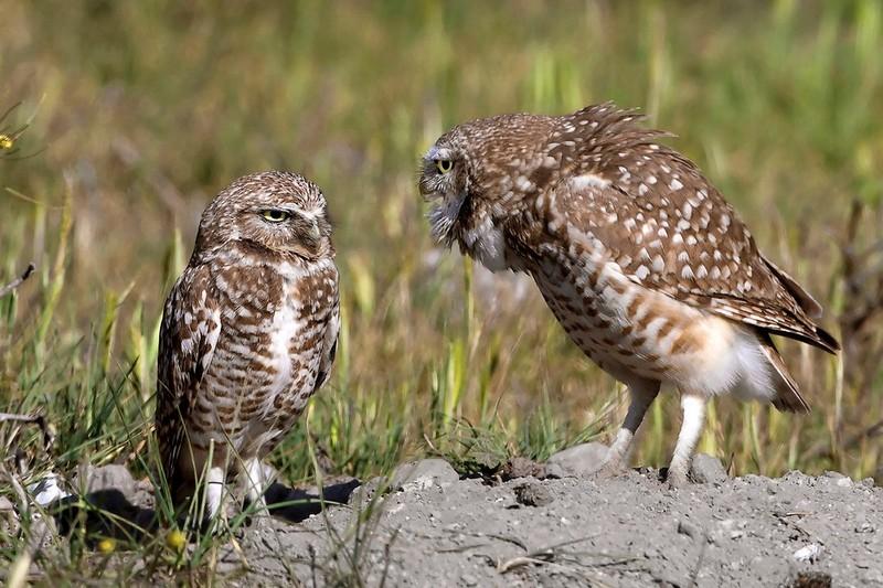 owls32