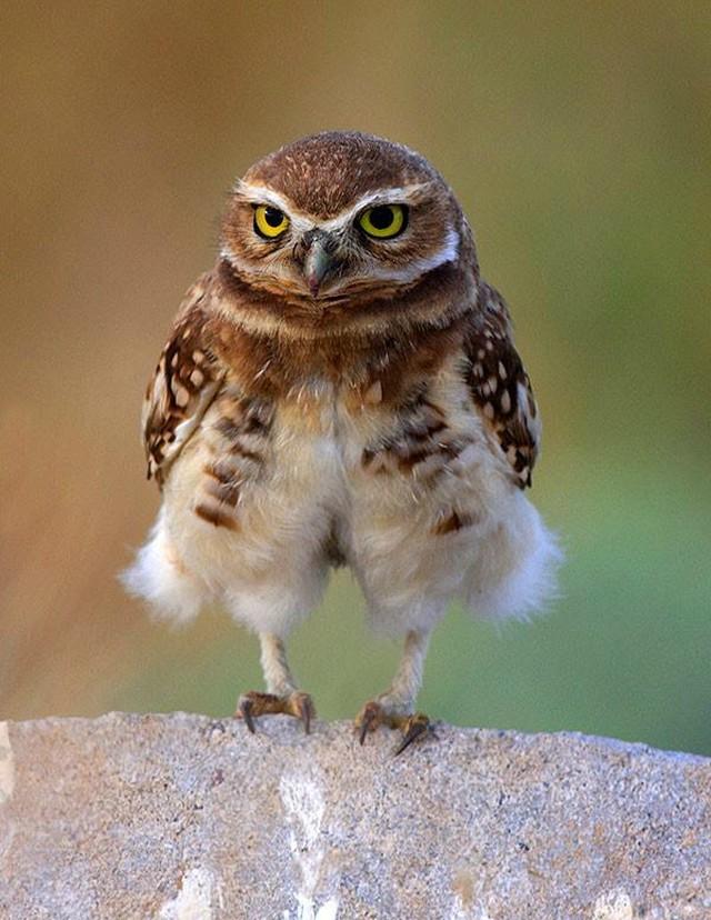 owls33