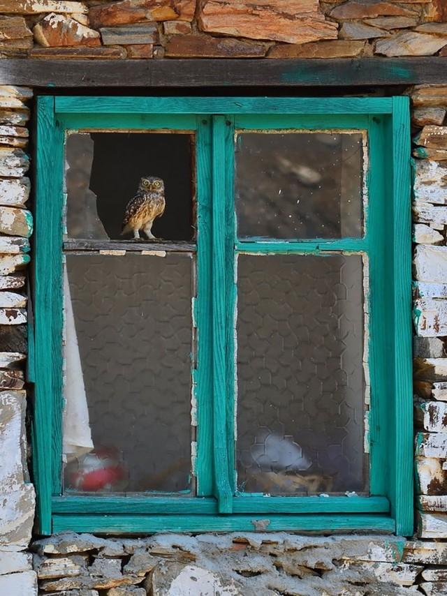 owls36