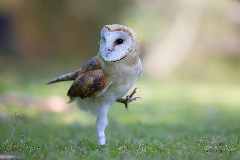 owls37