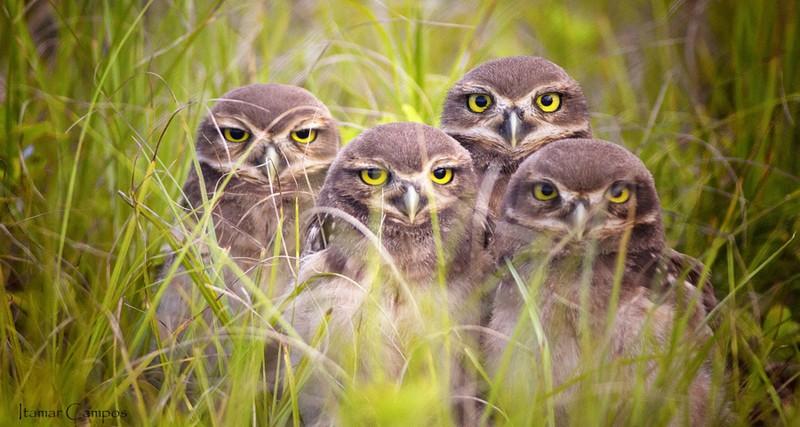 owls39