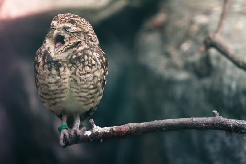 owls55