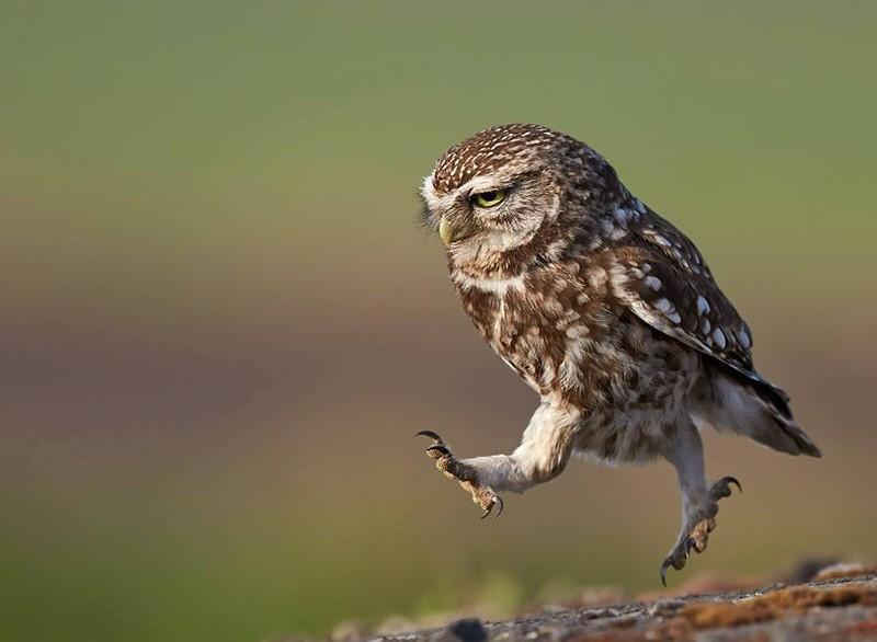 owls64