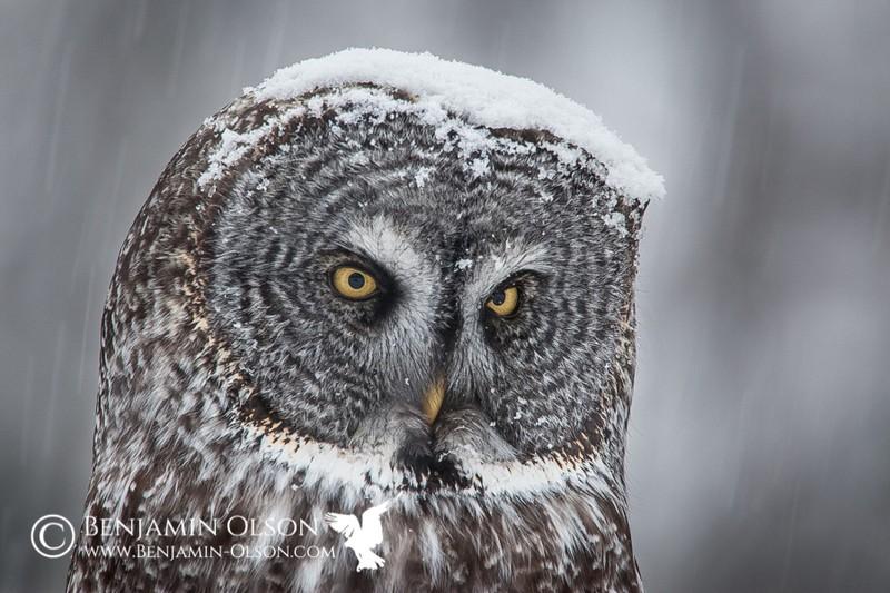 owls81