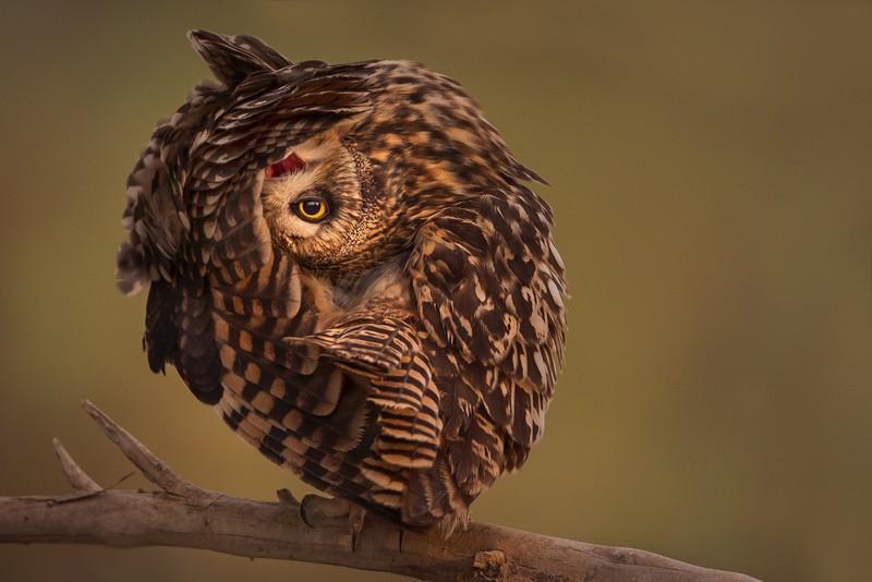 owls84