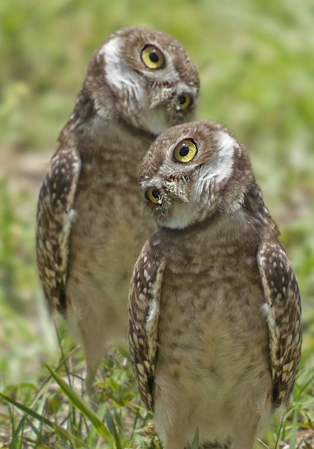 owls85