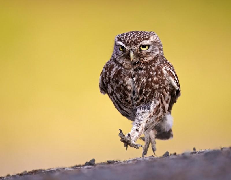 owls86
