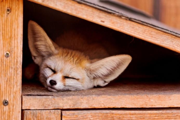 sleeping_fennec_fox___tambako
