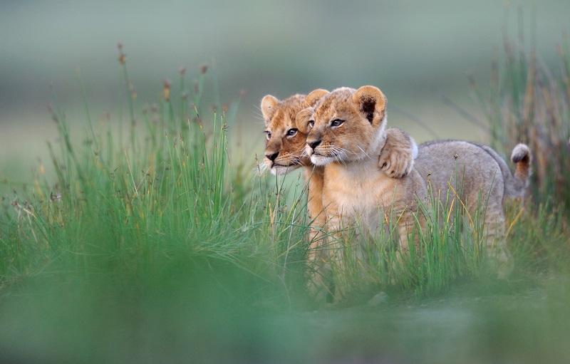 13-Обнимающиеся животные - львята