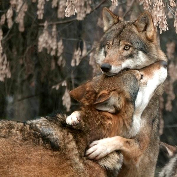 28-Волчьи обнимашки
