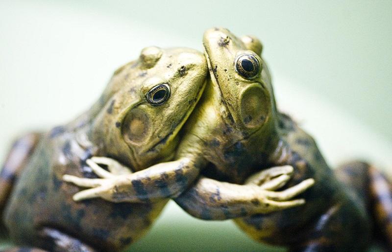 30-Фото обнимающихся лягушек
