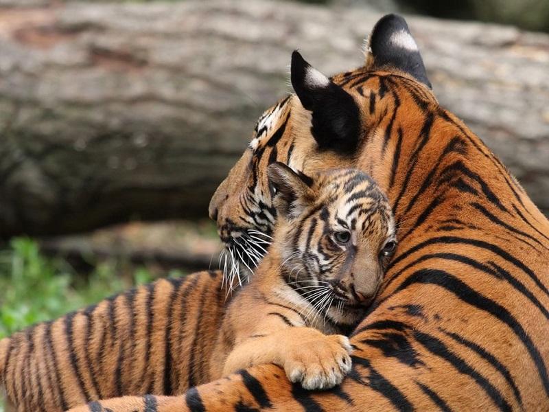 31-Обнимающиеся животные - тигры