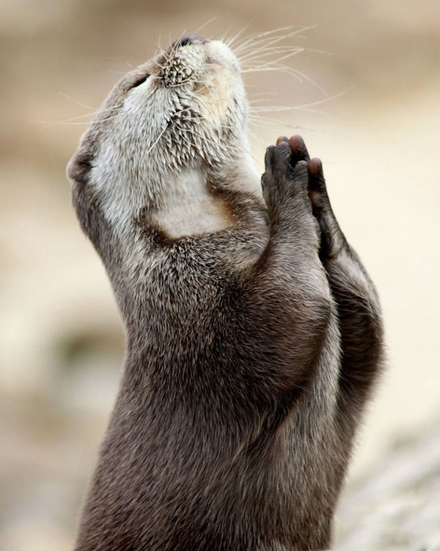 Feb. 09, 2012 - Birmingham, England, United Kingdom - This is the incredible photo of an otter seeking guidance by praying. This once in a lifetime snap was taken by Hertfordshire based photographer Marac Andrev Kolodzinski. Marac had to wait over two hours in the freezing cold before he captured the divine moment. .(Credit Image: © Marac Kolodzinski/Caters News/ZUMAPRESS.com)