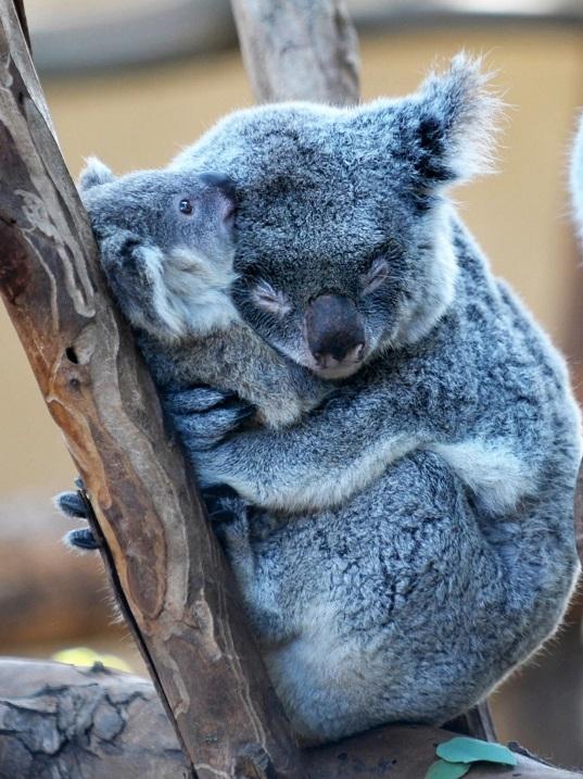 4-Обнимающиеся коалы