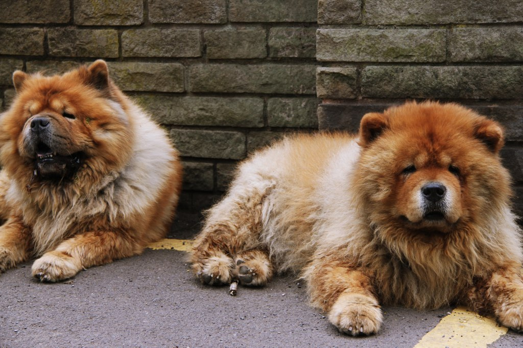 2 Chow Chows!