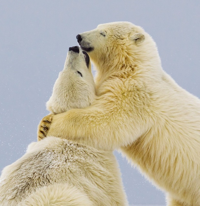"The polar bears share a hug *full story: http://www.rexfeatures.com/nanolink/enmp* This polar bear cub smiles with pleasure as he gives his sister a tender hug. The intimate family moment was captured in temperatures 20 degrees celsius blow freezing by British photographer Oliver Smart. The 34-year-old was sat on a speed boat as he caught the pair on camera embracing following a play fight. Oliver said: ""This pair were hilarious because they were squabbling constantly like siblings do and it was very funny. ""There was no malice, young polar bears just constantly like to wrestle and play in the snow. ""I thought the smile on the bear as they embraced was appropriate for such a tender moment""."