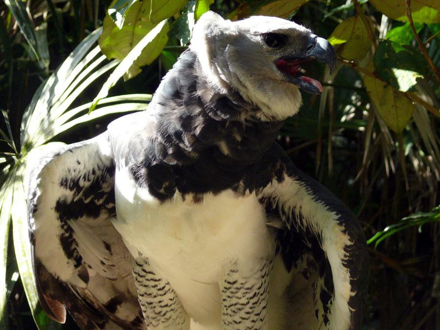 южноамериканская гарпия