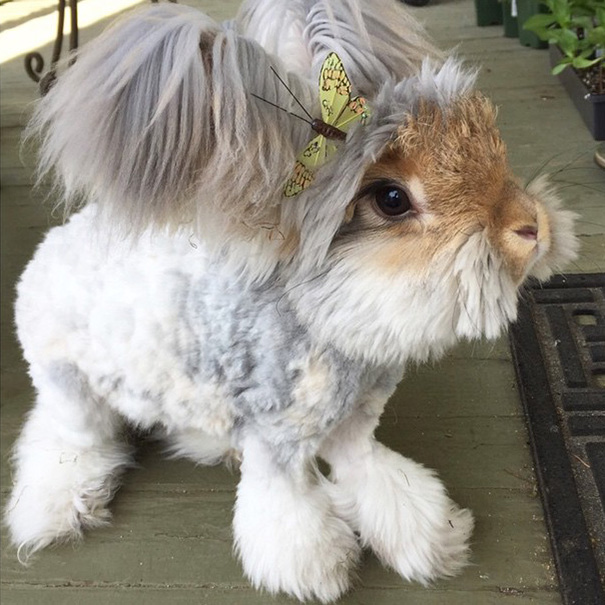 haircut-rabbit-angora-wally-15