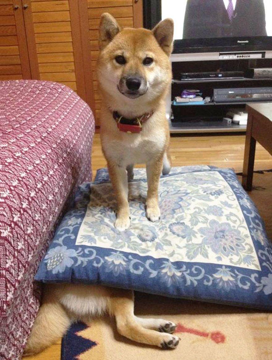 naughty-dog-shiba__605