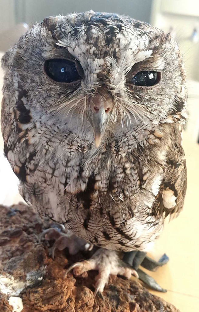 rescued-blind-owl-zeus-1-655x1024