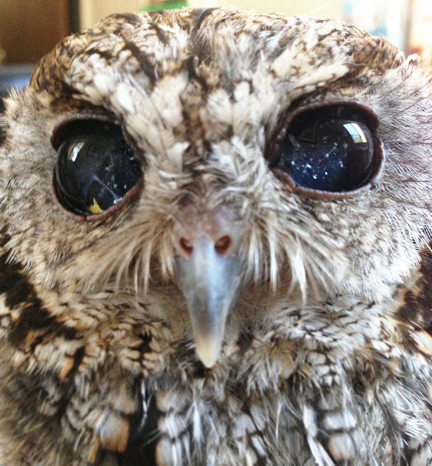 rescued-blind-owl-zeus-5