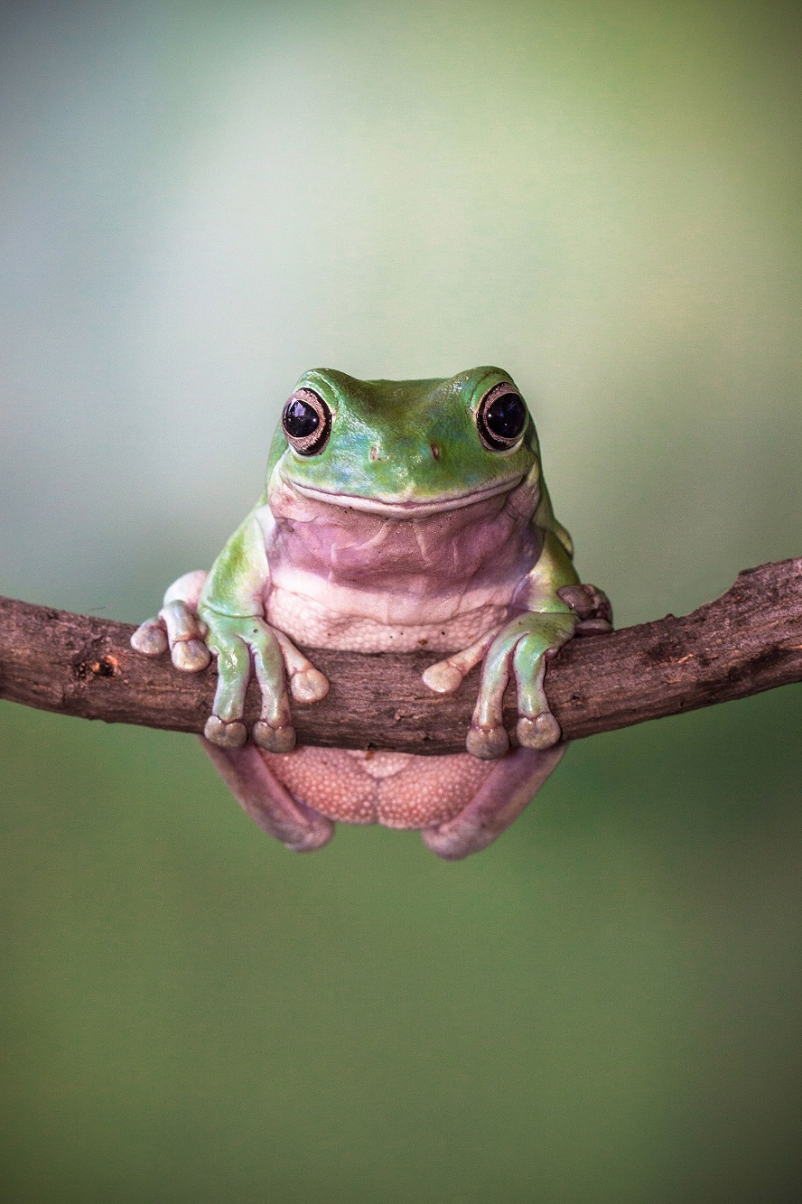 "Mandatory Credit: Photo by Lessy Sebastian/Solent News/REX Shutterstock (3438887a) Frog balanced on the branch Green frogs appear to exercise using a branch, Jakarta, Indonesia - Nov 2013 *Full story: http://www.rexfeatures.com/nanolink/ofd5 These green tree frogs are enjoying an intense gym workout by lifting their own bodyweight performing pull-ups on a branch. The acrobatic frogs even use a vertical branch to hang themselves off sideways, displaying immense strength and bulking up their muscles. In another photo, one frog poses proudly with a cap on after a fitness session - using a petal from a lotus flower. Professional photographer Lessy Sebastian, 50, captured these amazing photographs when he spent the afternoon in his garden. He bought the frogs from a reptile shop almost a year ago and keeps them in his pond in Jakata, Indonesia. Lessy said: ""Usually every weekend I have an opportunity to photograph them and watch them play on a tree branch and jump on a lotus flower to a rest""."