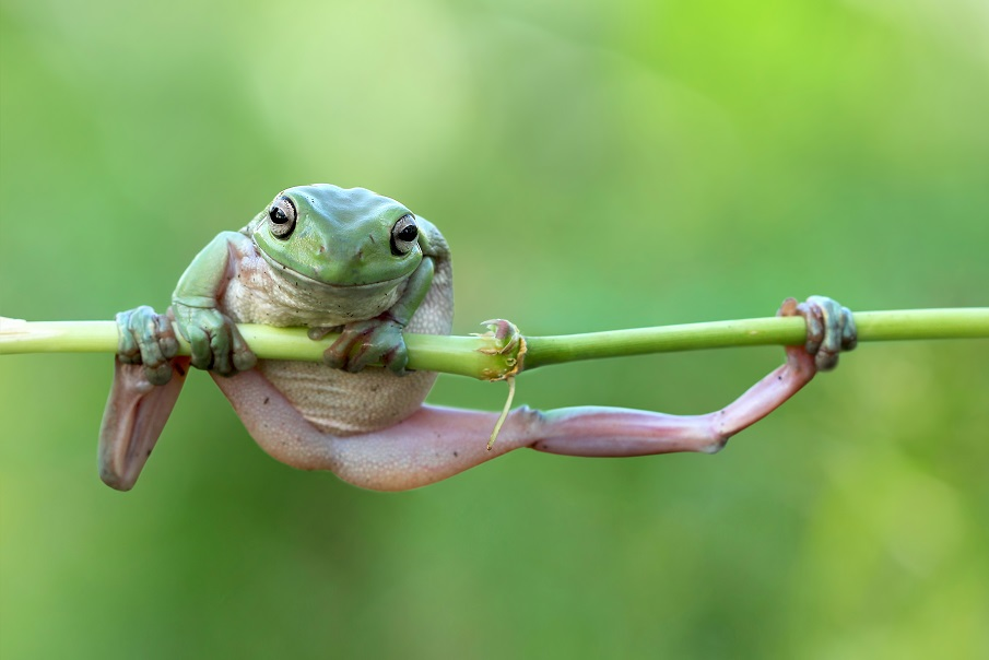 "Mandatory Credit: Photo by Kurit Afsheen/Solent News/REX Shutterstock (4889839e) One of the frogs doing a pull up on the stem Frogs appear to be exercising on a plant stem, Tangerang, Indonesia - Jun 2015 *Full story: http://www.rexfeatures.com/nanolink/ql2d It's no pain no gain for these fitness frogs as they attempt to do a pull up on a bamboo branch. The two White's Tree Frogs were spotted attempting to heave themselves back onto the stem after they slipped off. The male and female frogs were racing each other up the branch like climbers hoisting themselves up a rope, with the larger, older female frog winning the contest. But as the frogs reached the top of the branch it began to bend under their weight until it was horizontal, leaving them both hanging on by their finger tips. Kurit Afsheen photographed the amphibians as they clung onto the branch in Tangerang, Indonesia. Mr Afsheen said: ""I saw them climbing up the branch and it looked like they were trying to race each other."