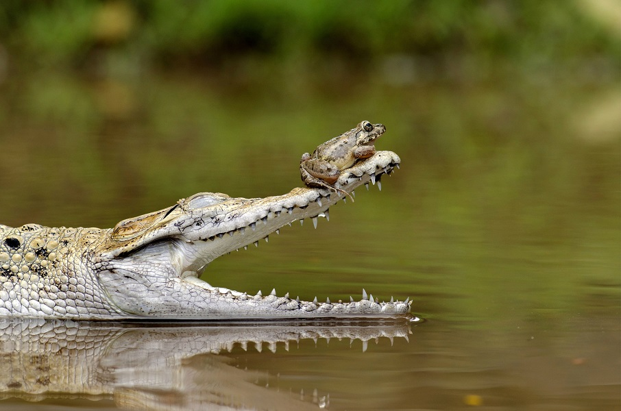 "Mandatory Credit: Photo by Fahmi Bhs/Solent News/REX Shutterstock (3636361a) The frog on the end of the croc's open jaws Frog sits perched on end of crododile's snout, Jakarta, Indonesia - Feb 2014 Perched on the nose of a crocodile, this brave frog probably won't realise just how much of a lucky escape it's had. For there's one reason the reptile's beady eye is fixed greedily on its visitor with jaws gaping wide in anticipation - feeding time. Fahmi Bhs, 39, captured this unexpected moment in a pool in Jakarta, Indonesia. He watched as the crocodile devoured the first frog in his enclosure, but was amazed when it appeared unable to capture the second. The small amphibian settled on the crocodile's head before moving to the tip of its nose as it opened its huge mouth. Eventually the lucky frog hopped away and left the small pool. Fahmi said: ""It looked as though the croc had eaten enough breakfast and just wanted to keep the frog as a 'little pet' instead."""
